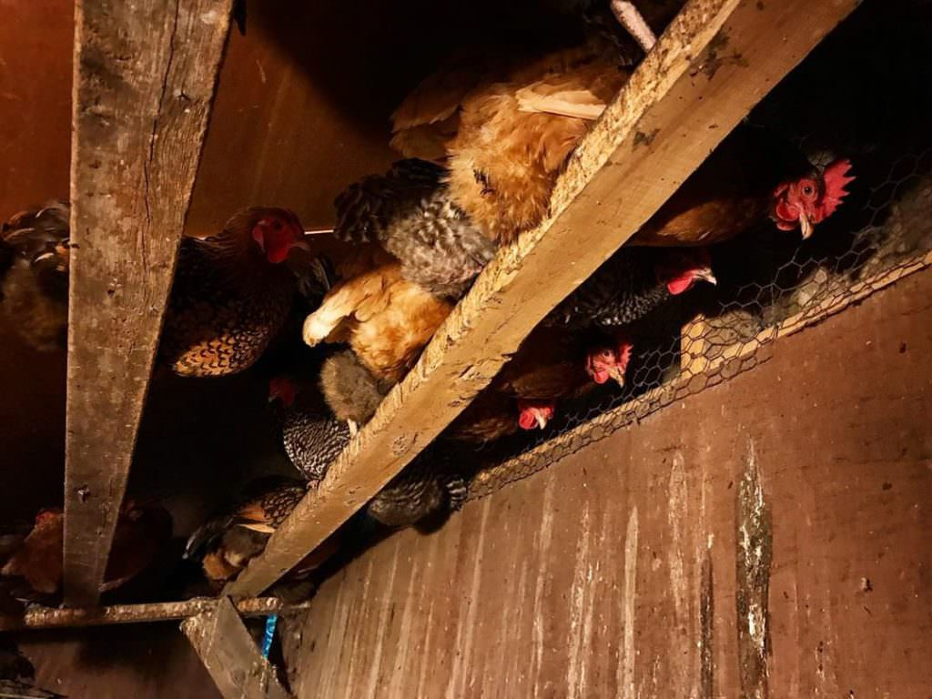 Il est important de savoir combien de poules par m2 vous pouvez disposer dans un poulailler. Sur un perchoir, c'est 25 centimètres de longueur par poules !