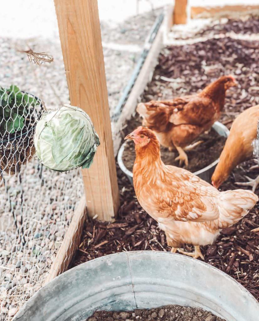 Bien nourrir ses poules est indispensable pour les garder en bonne santé !