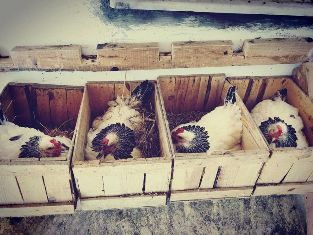 Une poule peut pondre dans n'importe quel pondoir. Mais en avoir un de la bonne taille et toujours propre est bien mieux !
