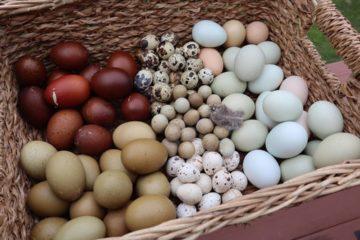 Des UV pour vos poules permettent d'augmenter la vitamine D contenue dans leurs oeufs.