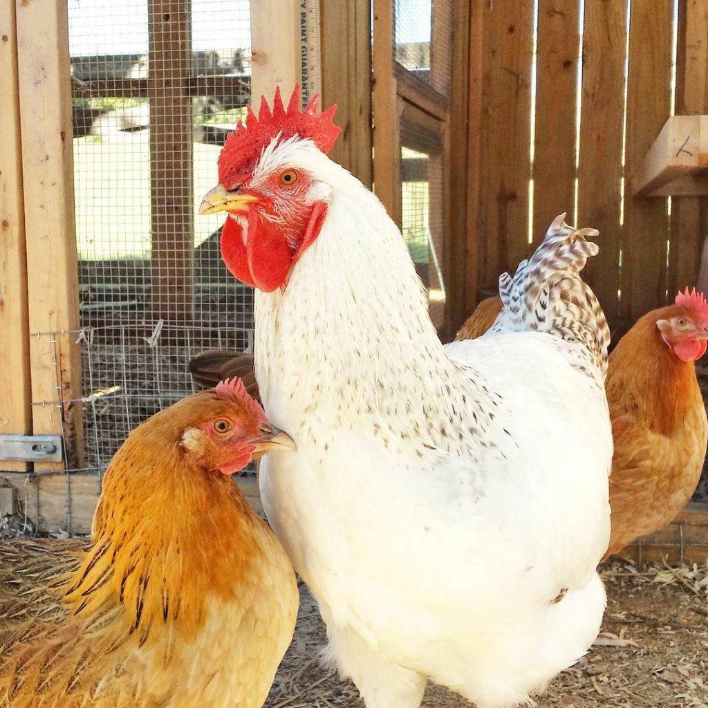 La poule Dorking est extrêmement sociable